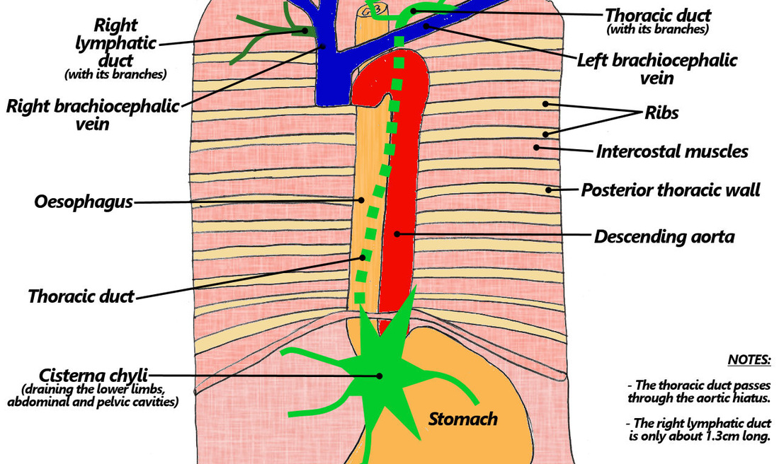 9. breast & lymphatics - the goofy anatomist, Human Body