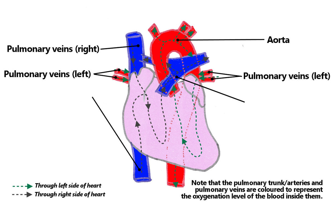 7. heart & mediastinum, part 1 - the goofy anatomist, Muscles