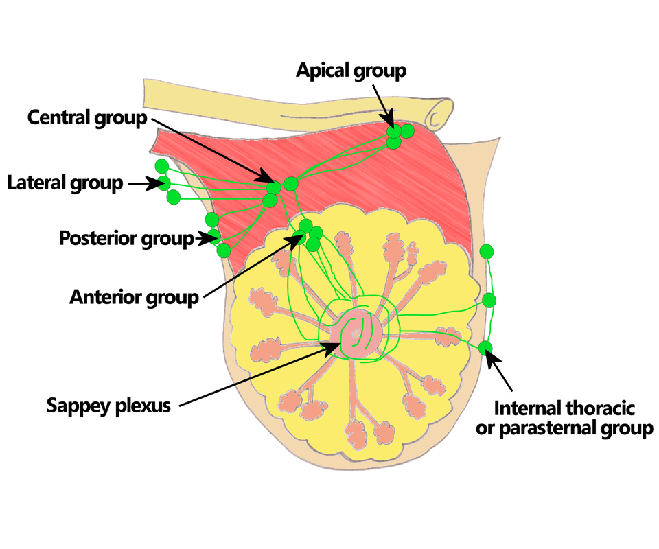 10. Breast & Lymphatics - The Goofy Anatomist