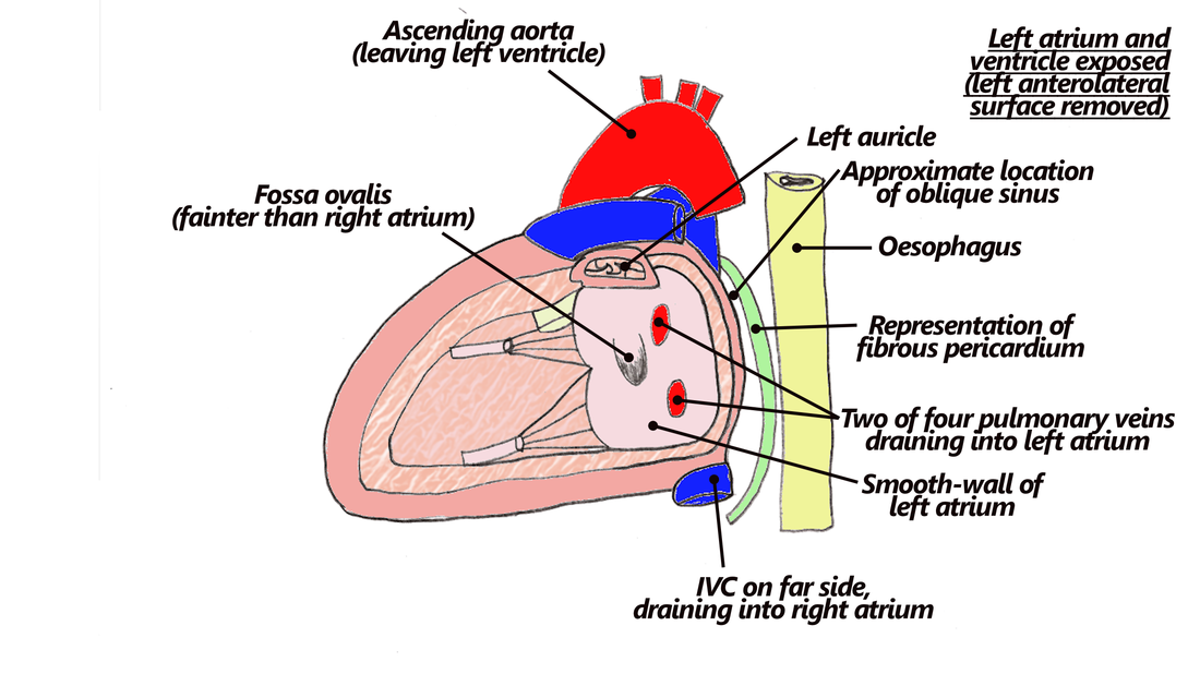8 Heart Mediastinum Part 2 The Goofy Anatomist