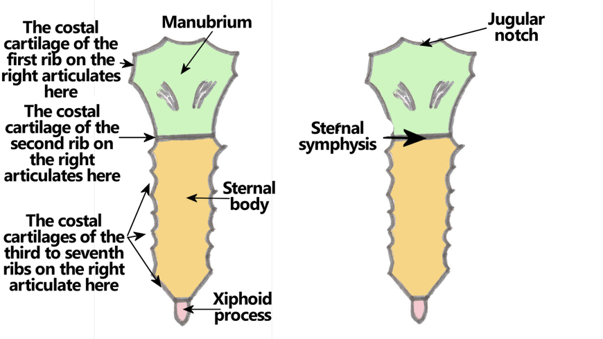 diagram parts of sternum 1. bones & boundaries - the goofy anatomist body of sternum diagram