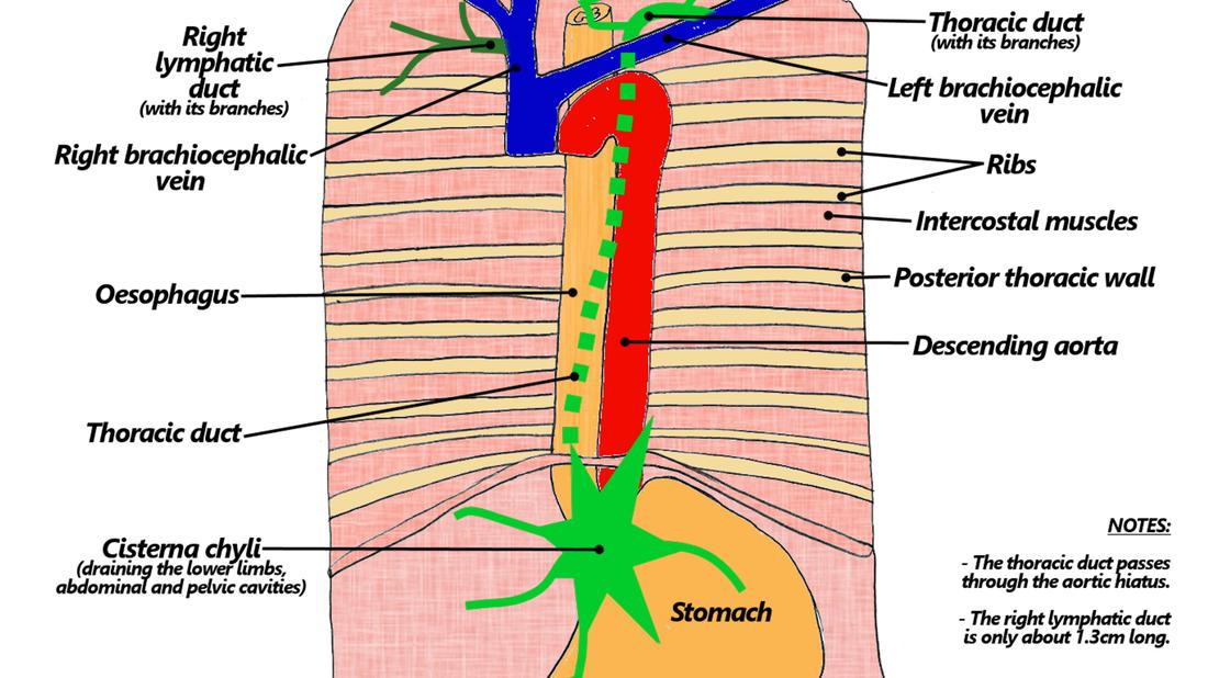 10 Breast Lymphatics The Goofy Anatomist