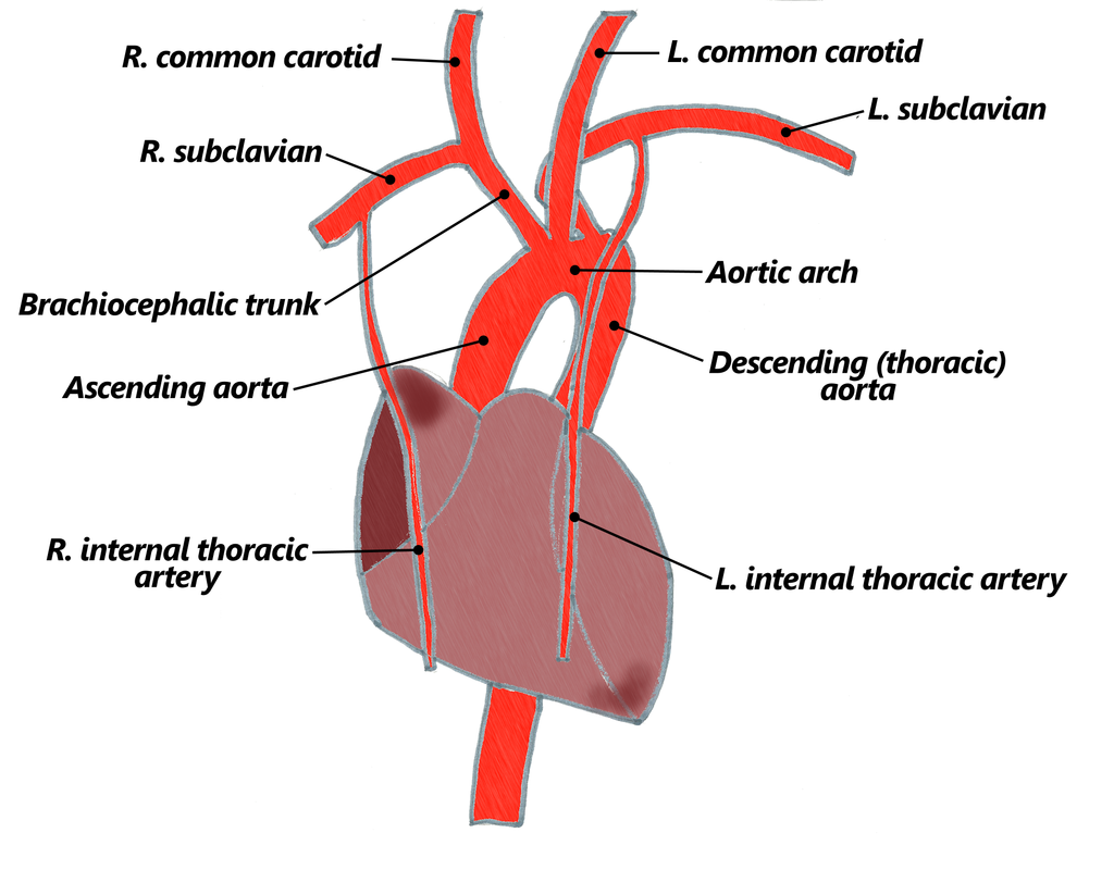 4. Arteries - The Goofy Anatomist
