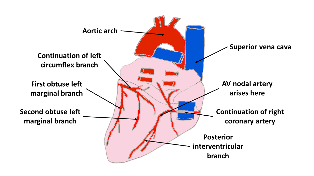 7. Heart & Mediastinum, Part 1 - The Goofy Anatomist